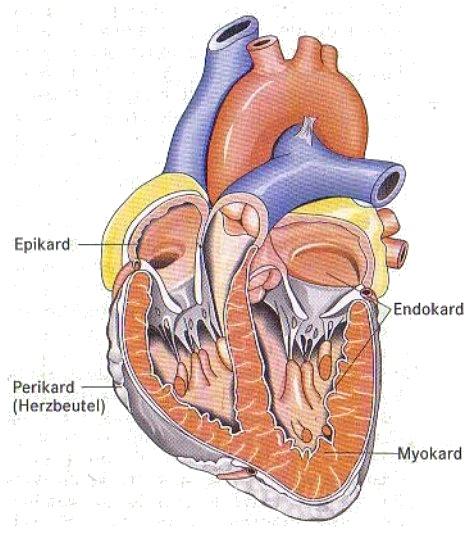 Herz, anatomisch
